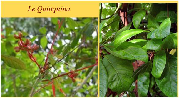 quinquina1