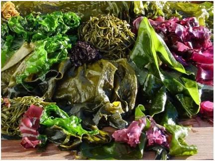 algues variétés