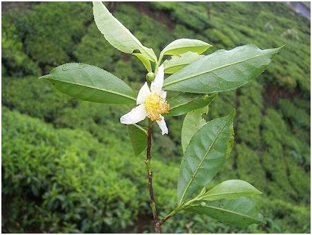 fleur de thé