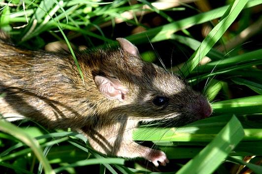 les rats blog