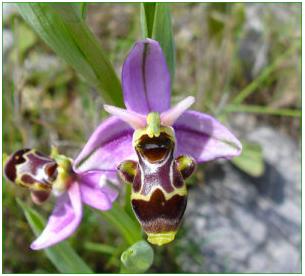 orchidéee