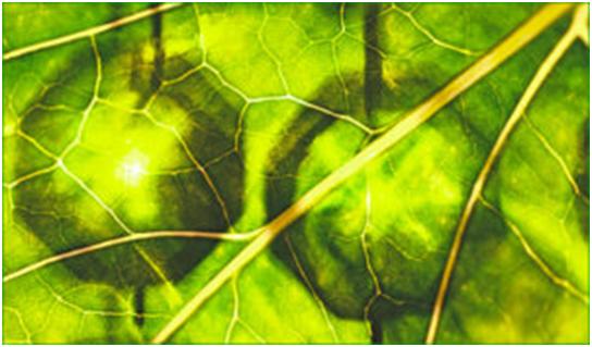 plante placebo